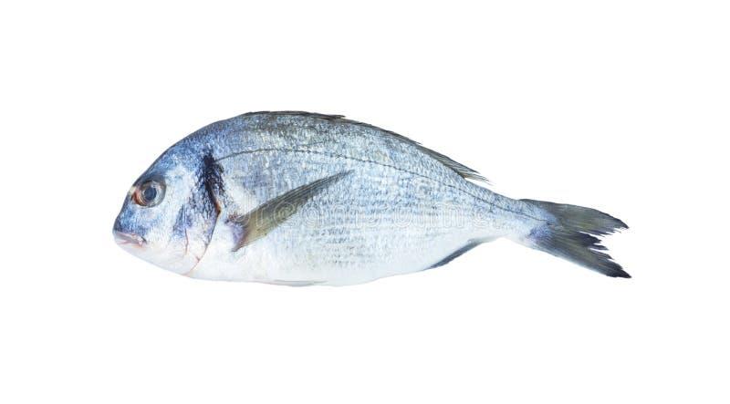 Dorado fish isolated on the white background. Close-up view of raw fresh healthy dorado fish isolated on white. Dorado fish over w stock image