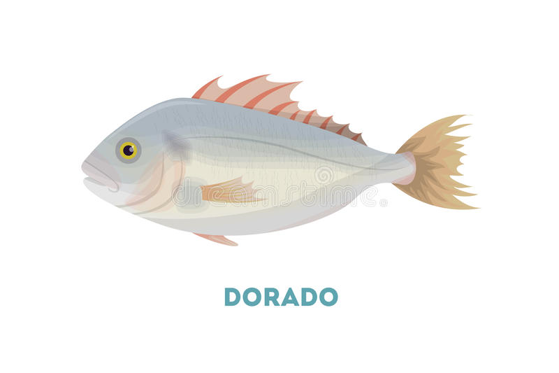 Dorado fish. Dorado fish on white background. Seafood vector illustration