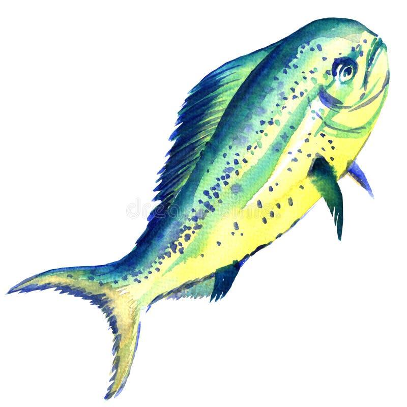 Dorado isolato, illustrazione del pesce crudo dell'acquerello su bianco illustrazione vettoriale