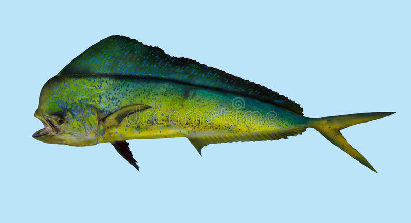 Dorado Mahi mahi fishing portrait. A saltwater predator that feeds mainly on smaller fish. Its speed and high-quality flesh make it a prize game fish vector illustration