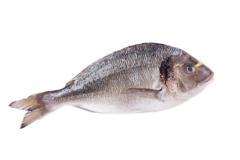 Dorado ryba odizolowywająca na bielu obraz royalty free