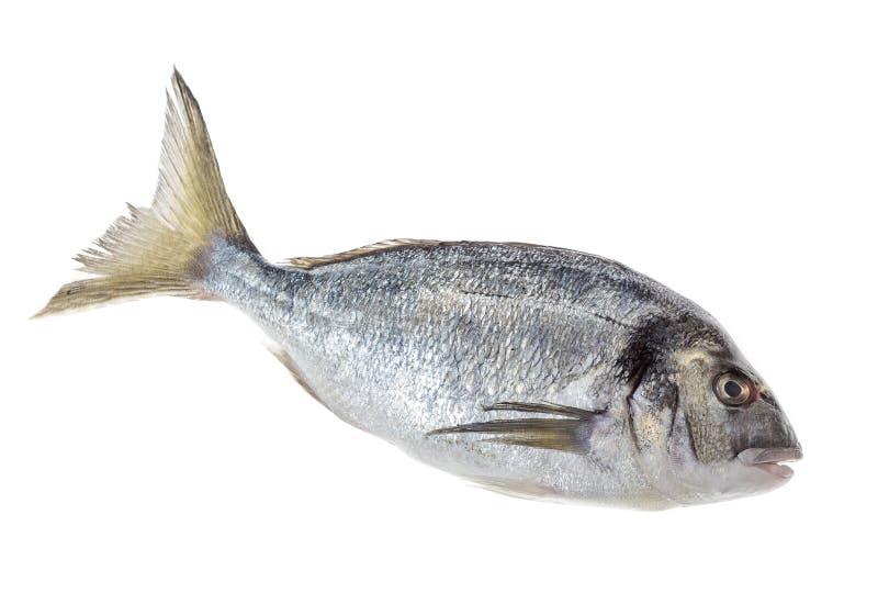 Dorado rybi lub denny seabream odizolowywał profilowego widok na bielu zdjęcie stock