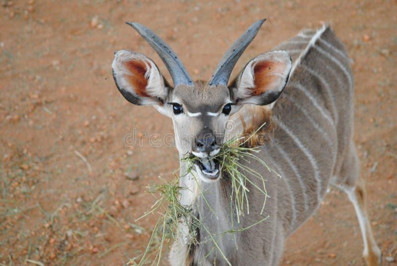 Dorastający kudu fotografia stock