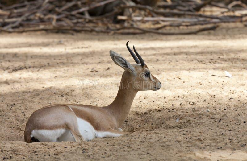 Dorcas gazelle stock photos