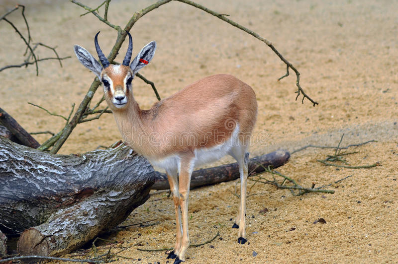 Dorcas gazelle royaltyfria bilder