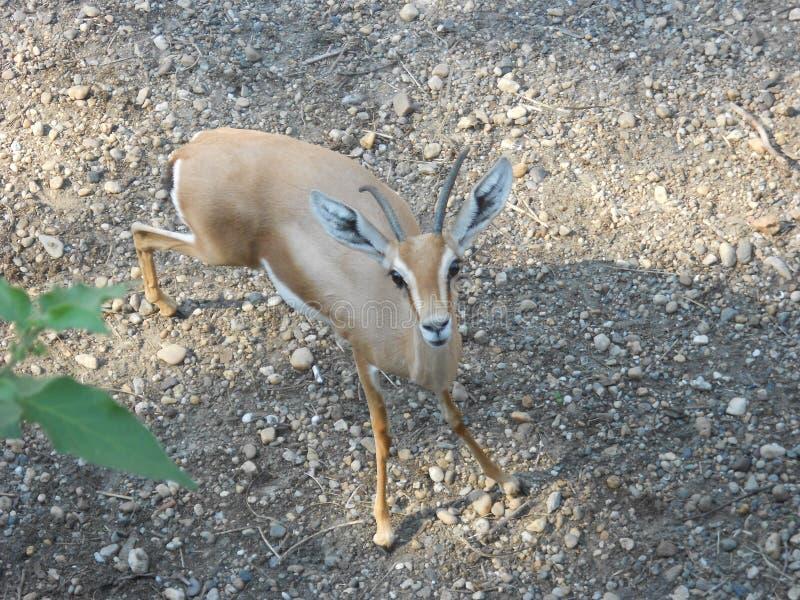 Dorcas gazelle royaltyfria foton