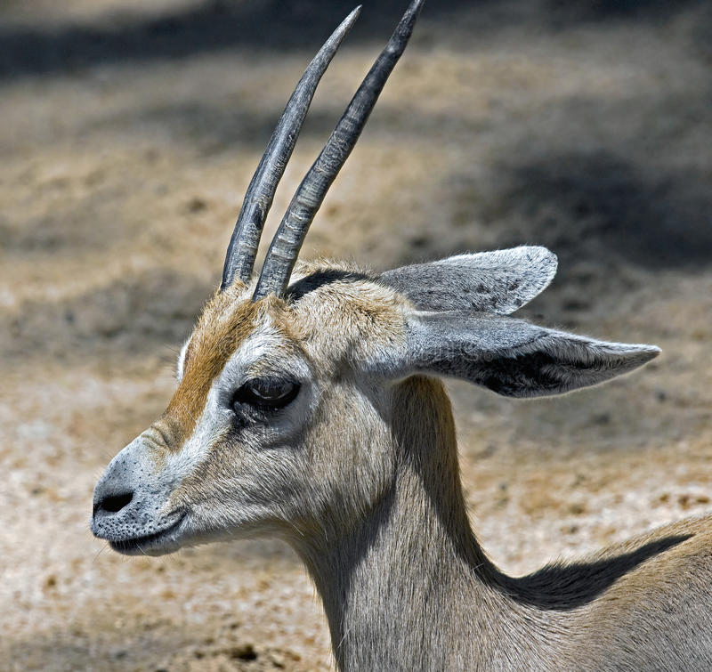 Download Dorcas gazelle 1 stock photo. Image of desert, animal - 31361986