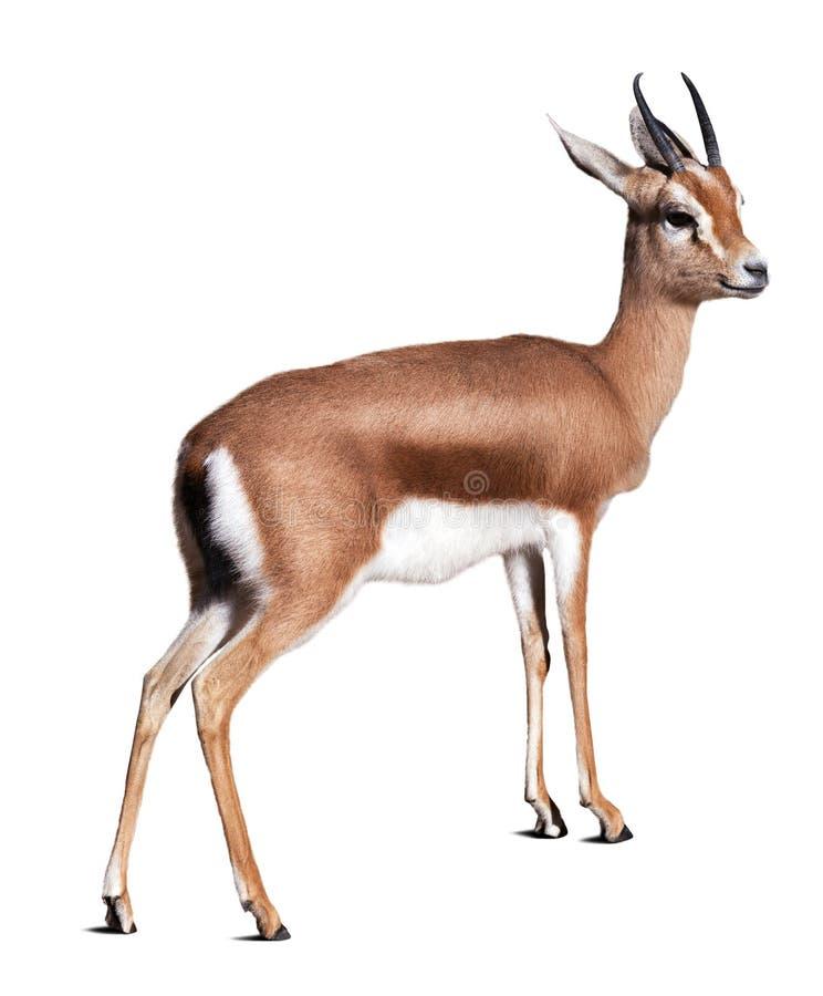 Dorcas gazelle. Isolated over white background royalty free stock images