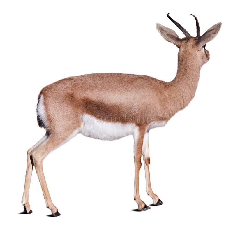 Dorcas gazelle over white stock photos