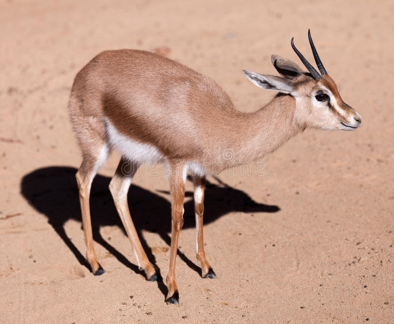 Dorcas gazelle on sand royalty free stock images