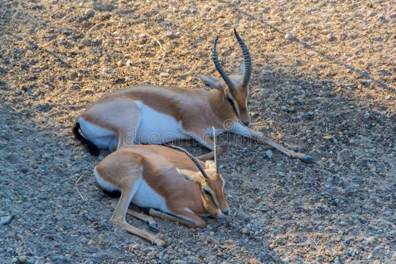 The dorcas gazelle stock photo