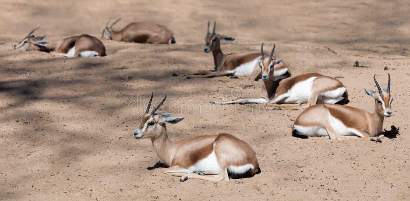 Dorcas Gazelles no wildness foto de stock