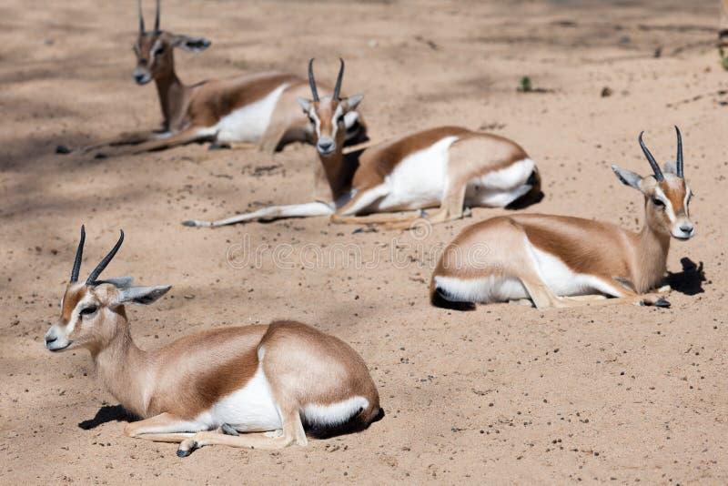 Dorcas Gazelles que senta-se na areia imagem de stock