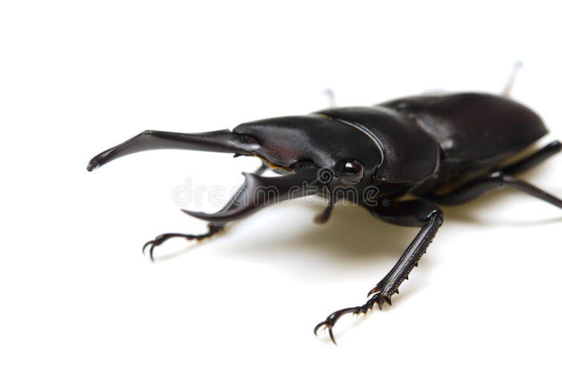Download Dorcus rectus stock photo. Image of ferity, insect, background - 26476628