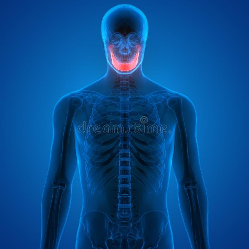 Dores de osso humanas do crânio ilustração stock