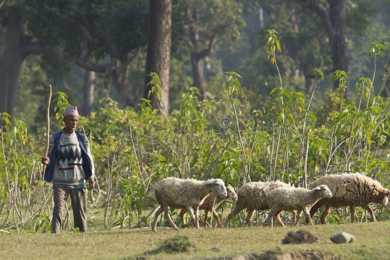 Dorfbewohner, die seine Schafe, Nepal aufpassen stockbilder