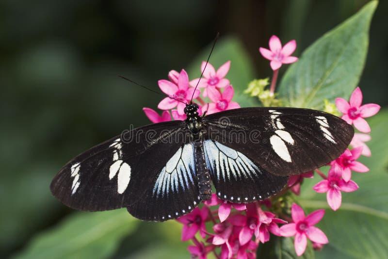 doris бабочки longwing стоковая фотография rf