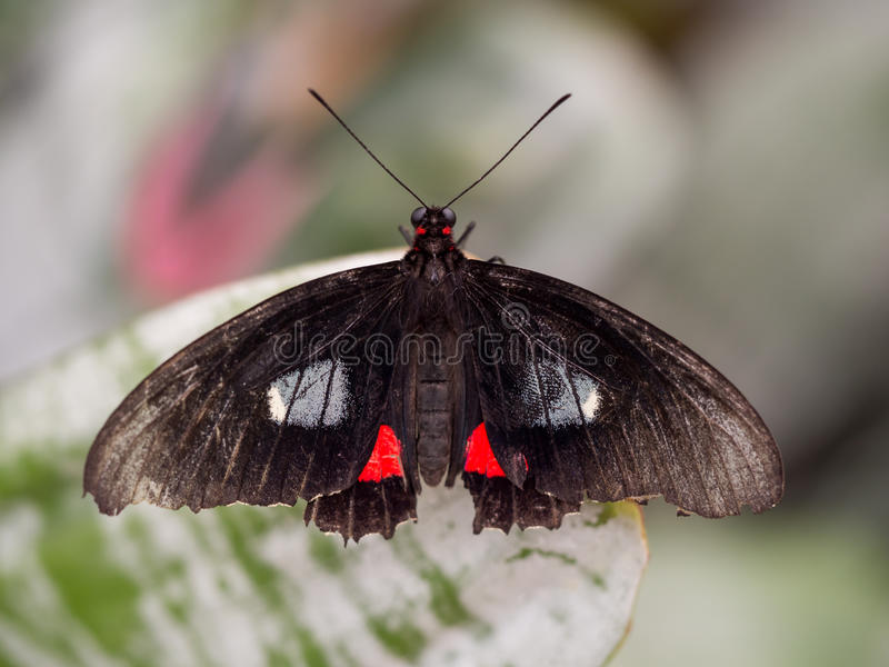 Dorisvlinder op blad stock afbeelding