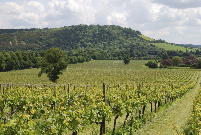 Dorking的葡萄园。 萨里。 英国 免版税库存图片
