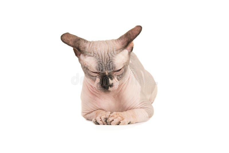 Dormant, chat grincheux de sphinx se trouvant vers le bas d'isolement sur un fond blanc vu de l'avant photo libre de droits