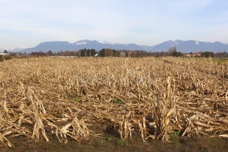 dormant cornfield arkivbild