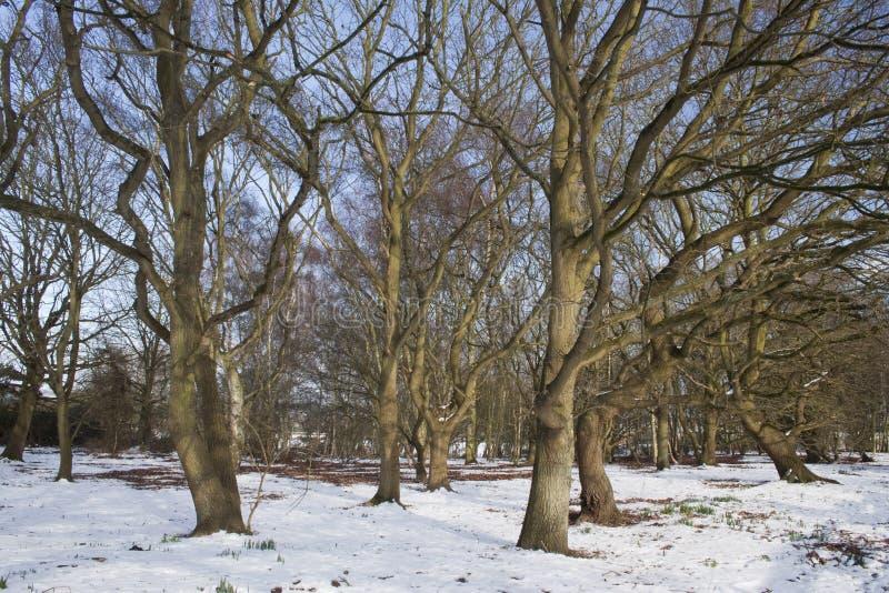 dormant snowtrees arkivbilder