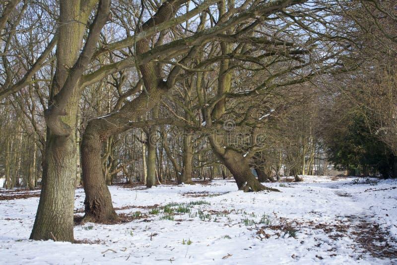 dormant snowtrees arkivfoto