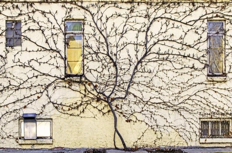 Dormant Vine, der die Seite einer alten Stadtmauer erbaut lizenzfreie stockfotografie