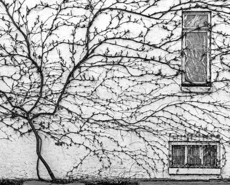 Dormant Vine, der die Seite einer alten Stadtmauer erbaut stockfotos