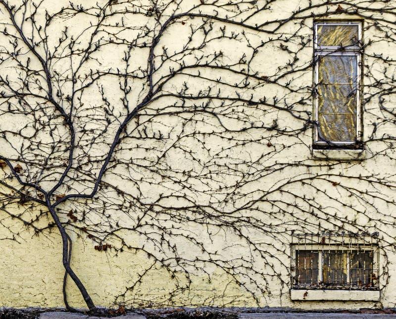 Dormant Vine, der die Seite einer alten Stadtmauer erbaut stockfotografie