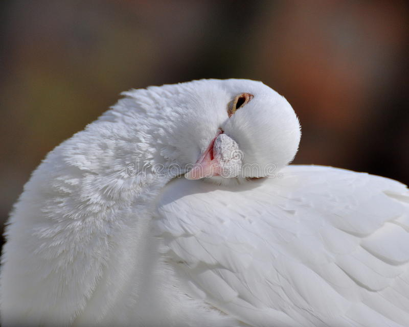 A dormant white dove. A sleepy white dove with her âEUR