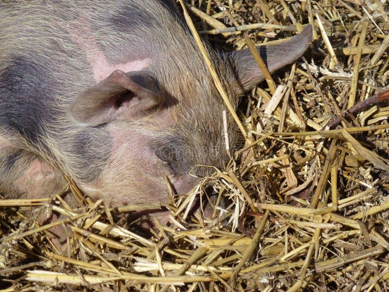 Dormendo porcellino chiazzato e rosa nella paglia immagini stock libere da diritti