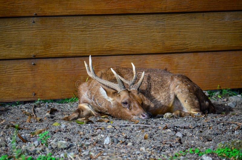 Dormida dos cervos fotos de stock