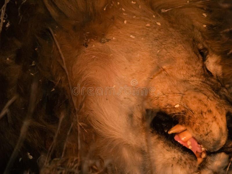 Dormidos principales del león withopen la boca y colmillos fotos de archivo