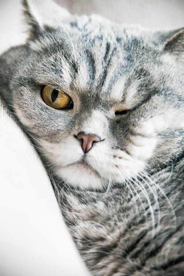 Dormindo um gato britânico gordo no sofá foto de stock royalty free