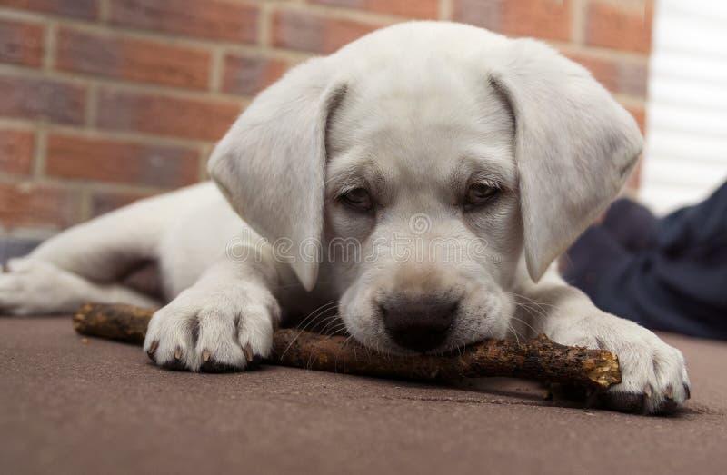 Dormir Labrador persegue o cachorrinho que inclina-se em uma parede no por do sol foto de stock