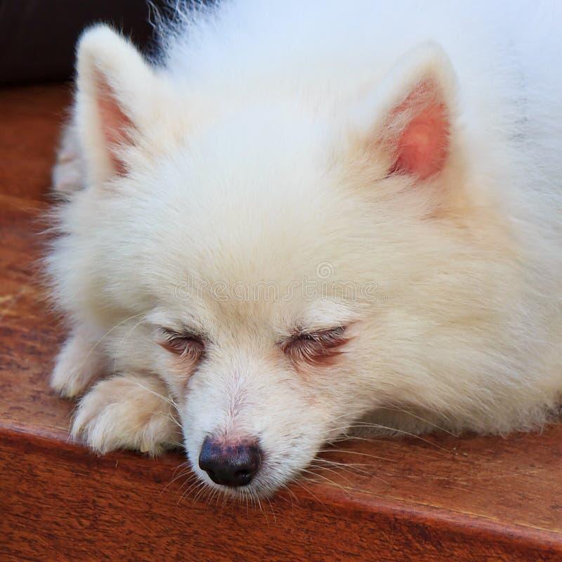 Dormite el perro blanco imagenes de archivo