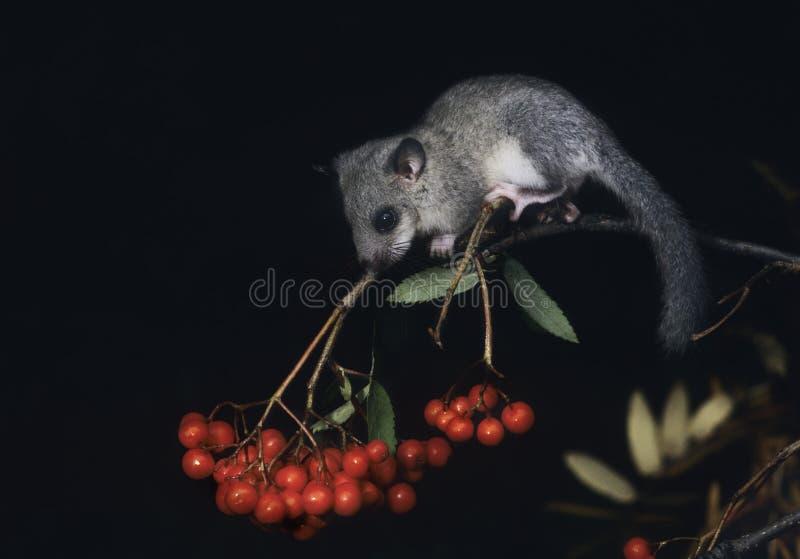 Dormouse sitting on rowan branch royalty free stock photography