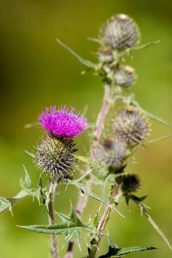 Dorne der blühenden Pflanze mit einer purpurroten Blume und einem unscharfen grünen Hintergrund lizenzfreie stockfotografie