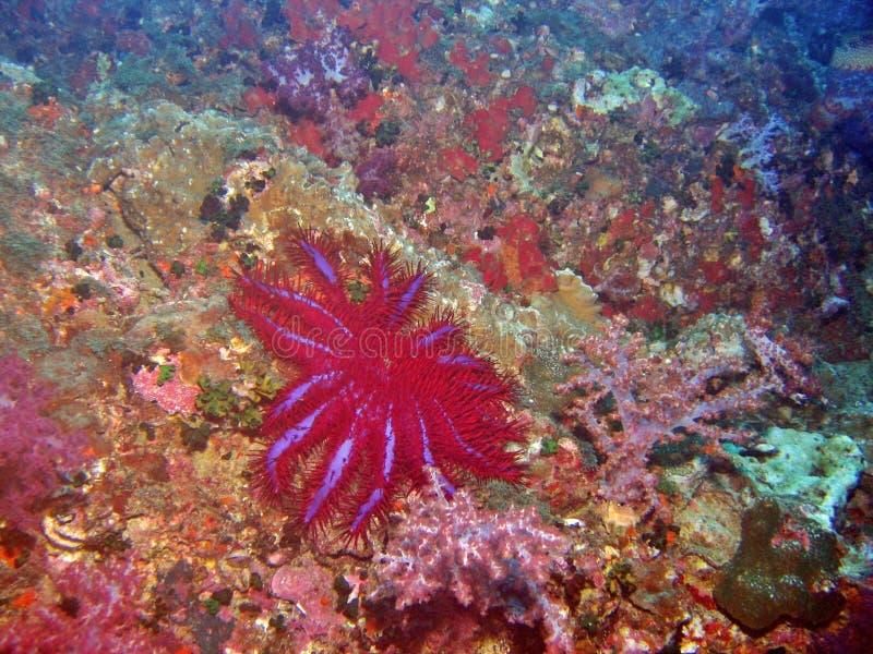 Dornenkrone Starfish lizenzfreies stockfoto
