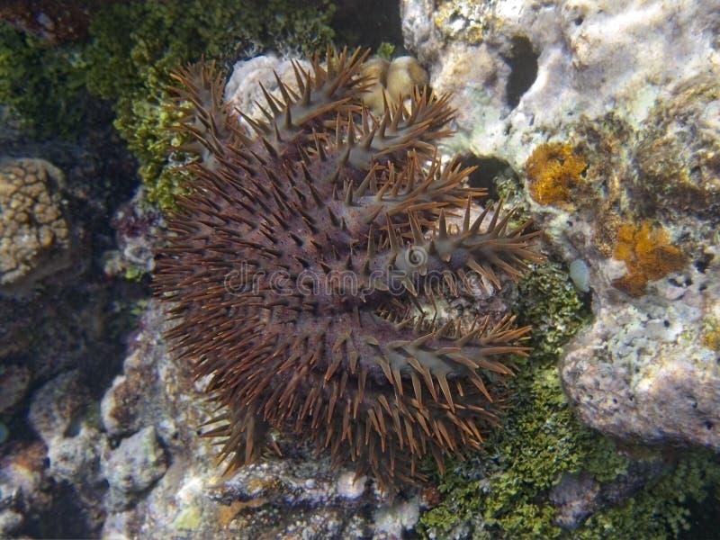 Dornenkrone Starfish lizenzfreies stockbild