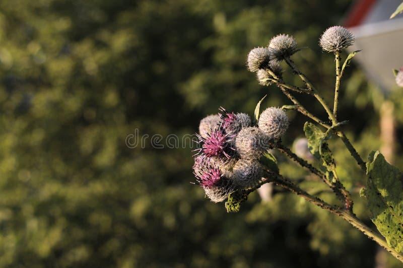 Dornige purpurrote Blume der Klette, grüne Knospen und Blätter im Kräutergarten Blühende Heilpflanzeklette Arctium lappa, größer lizenzfreies stockbild