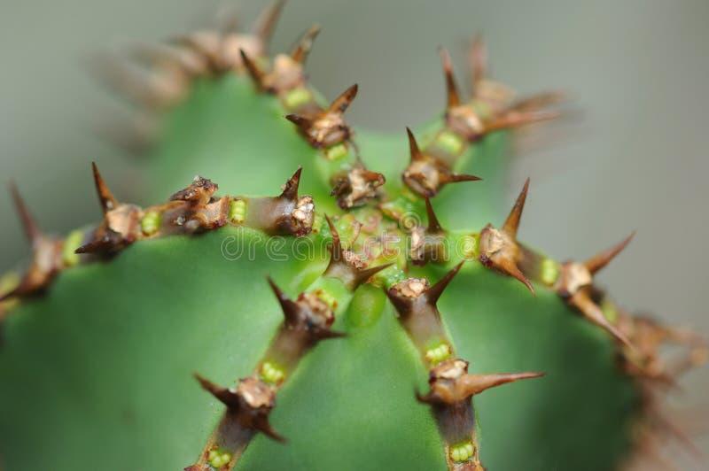Dorniger Kaktus lizenzfreie stockfotografie