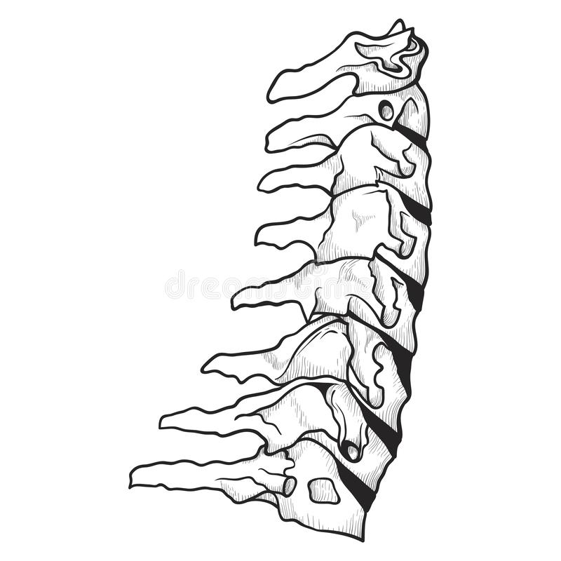Dornikone, skelettartiges orthopädisches und spinales Rückgrat lizenzfreie abbildung