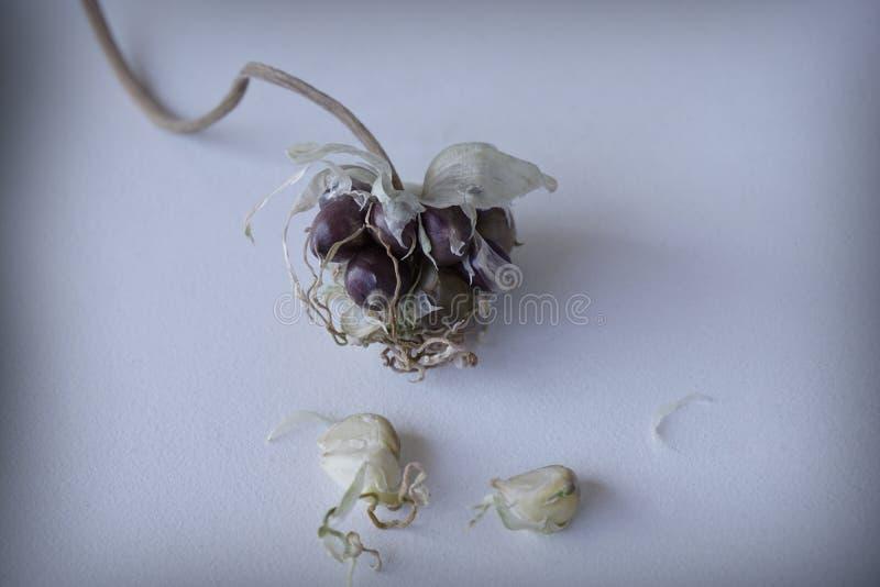 Dorośleć kwiatu kolec czosnku perennial obrazy royalty free