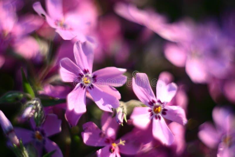 Dorośnięcie wiosny kwiaty odwiecznie ro?lina zdjęcia stock