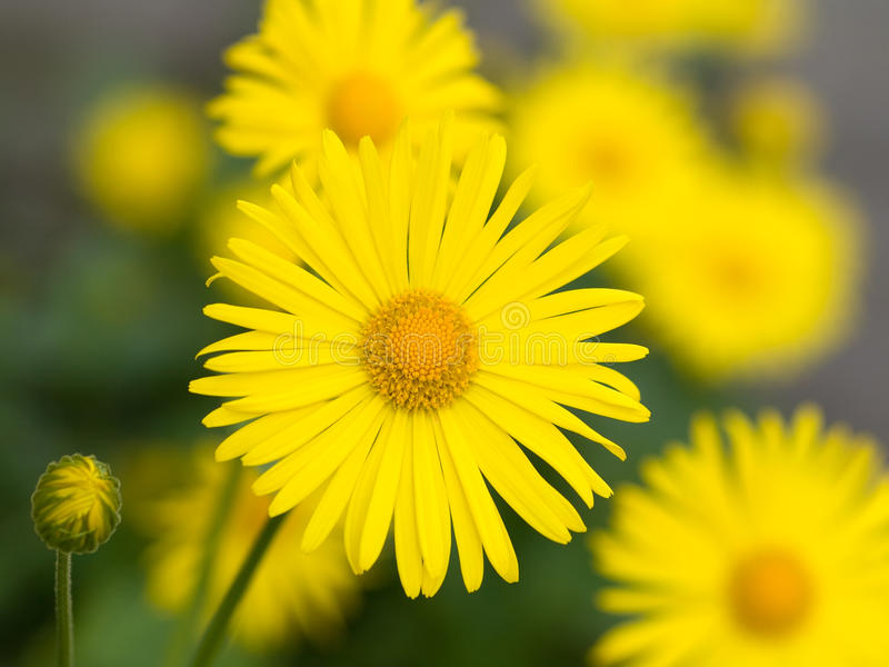Doronicum das flores fotos de stock