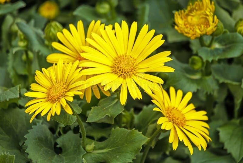 Doronicum orientale yellow, daisy-like flowers. Doronicum orientale - sparkling yellow, daisy-like flowers in spring garden stock image