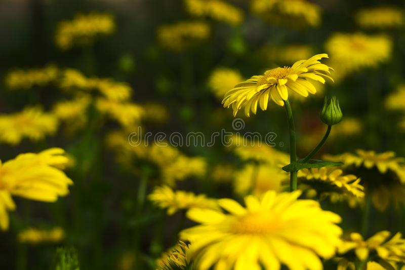 Doronicumorientaleleopards f?rbannelse - v?rblomma som en gul tusensk?na, h?rlig bakgrund SolrosfamiljAsteraceae royaltyfria foton