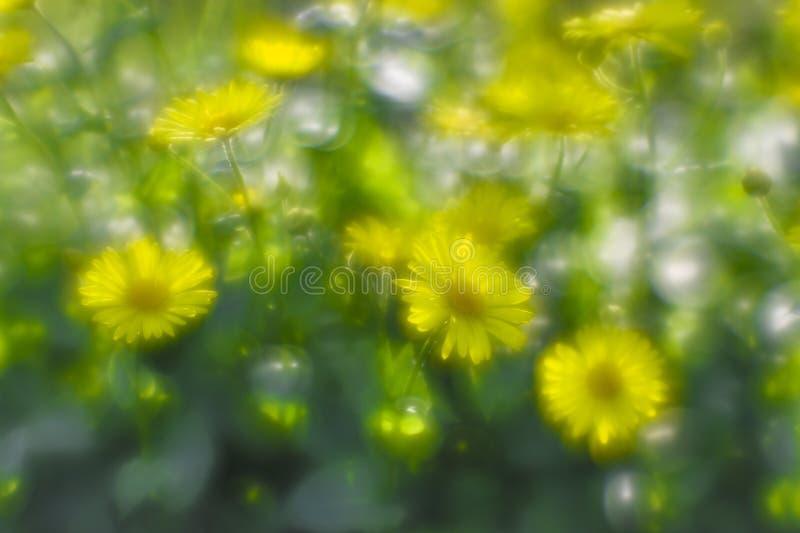 Doronikum jaune de marguerites de Bush sur le lit de jardin La photo a été prise sur une lentille molle Art de flou photo stock